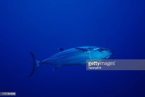 Live Tuna in Open Ocean