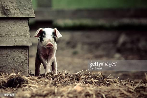 Livestock animal