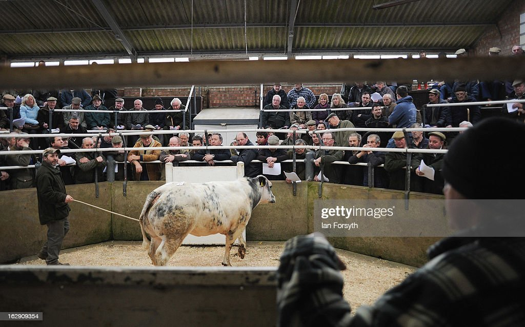 Livestock are bought and sold at a busy auction on March 1, 2013 in Malton, England. The auction takes place at Malton Livestock Auctioneers in the heart of Yorkshire and is one of the busiest in the country. In the wake of the horsemeat scandal British butchers and farmers are seeing a rise in demand for British reared meat, with Tesco's announcing at the National Farmers Union conference in Birmingham, that the world's third largest retailer would be buying more meat from its home market in Britain.