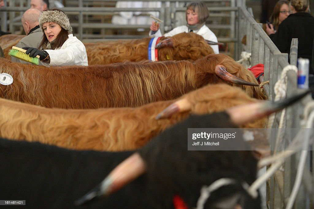 Livestock are prepared by handlers during the 122nd Highland Cattle Society spring sale at Oban Livestock centre on February 11, 2013 in Oban, Scotland. The show and sale held over two day's is open to all highland breed enthusiasts, attracting many buyers from across Europe and North America.