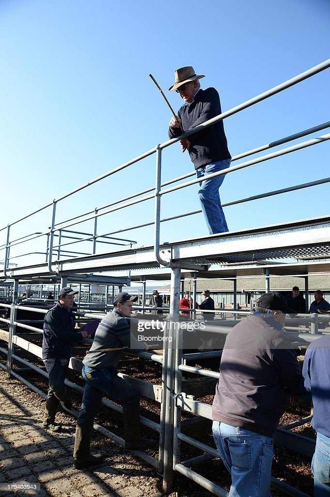 A livestock auctioneer stands on a catwalk above cattle pens prior to a live cattle auction at the Central Victoria Livestock Exchange in Ballarat, Australia, on Monday, Sept. 2, 2013. Australia exports A$30.5 billion ($29.4 billion) of food per year and produces enough to feed the nation of 23 million people twice over, according to the National Food Plan released by the Department of Agriculture, Fisheries and Forestry. Photographer: Carla Gottgens/Bloomberg via Getty Images