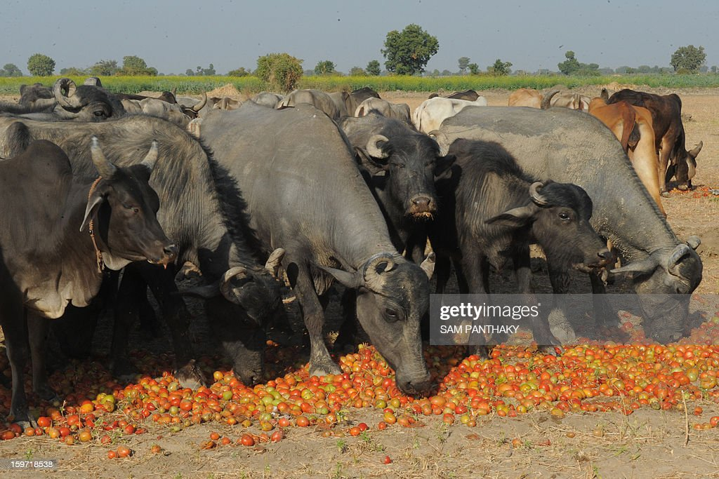 Livestock eat surplus tomatoes near Medha village of Kadi Taluka, some 35 kms. from Ahmedabad, on January 19, 2013. The export of tomatoes from India to Pakistan have been affected following the tense border situation between the two countries. AFP PHOTO / Sam PANTHAKY