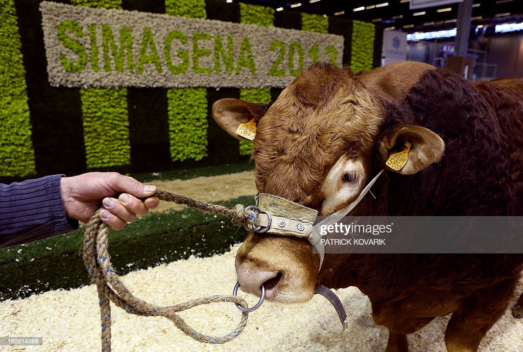 A livestock farmer presents a genetically selected hornless bull at the Paris International Agri-business Show (SIMA), which is part of the yearly International Agriculture Fair of Paris, on February 24, 2013, in Villepinte, a Paris suburb. The events runs from February 23 to March 3, 2013.