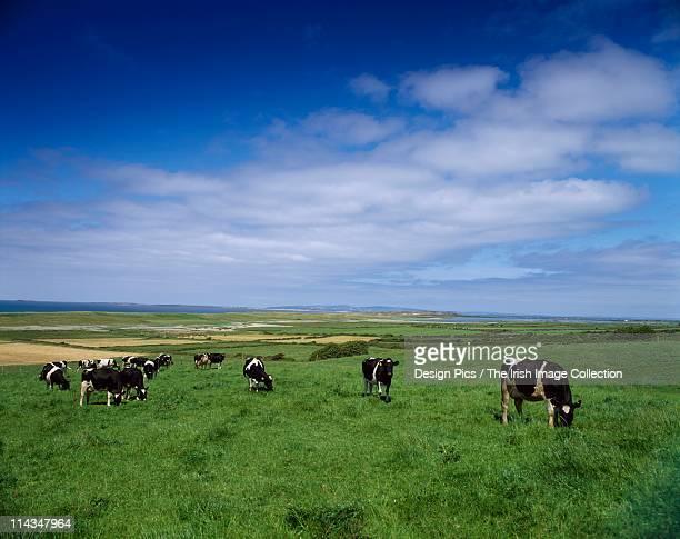 Livestock, Fresian Cows