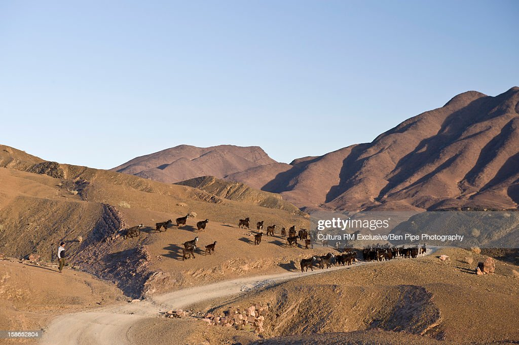 Livestock grazing on grassy hillside : Stock Photo