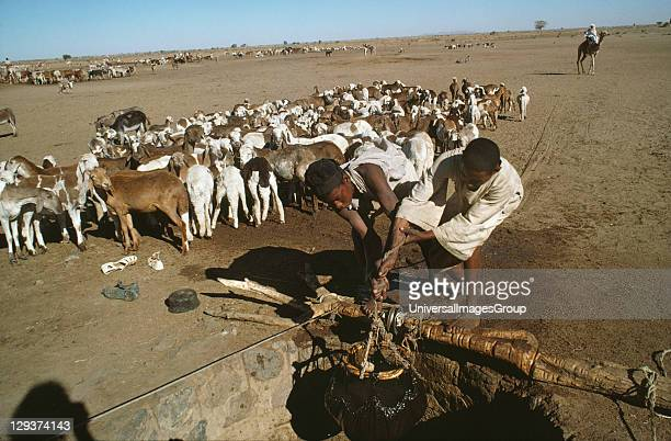 Livestock Sudan Kordofan Province Goats Sheep And Camels Driniking At A Well In Recent Years Herds Have Increased In Size And Overgrazing Has...