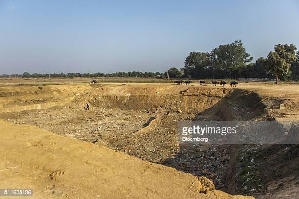Livestock walk past a driedup pond in Tikamgarh Madhya Pradesh India on Saturday Feb 9 2016 Rising discontent in rural India is pressuring Prime...