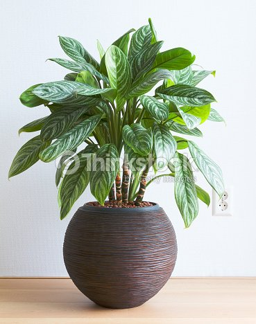 Living room with Aglaonema houseplant and wall socket : Stock Photo