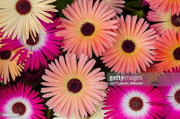 Livingstone daisies, Dorotheanthus bellidiformis