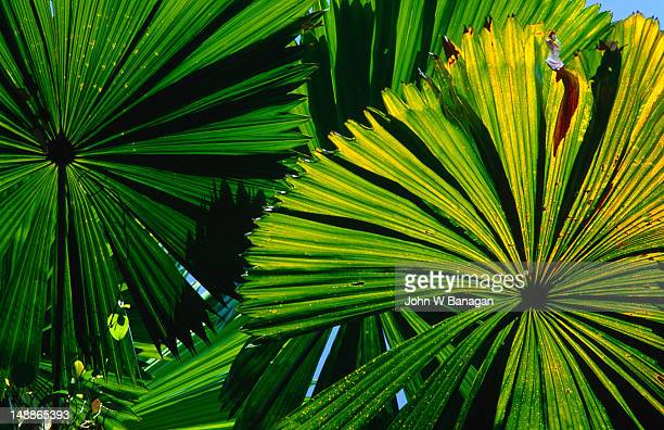 Livistonia species (Australian or Chinese Fan Palm) are fan palms that love the sun, tolerate drought, and grow at moderate speed