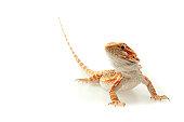 Lizard Bearded Dragon Pogona Vitticeps aka Sandfire isolated on white background focused on eyes
