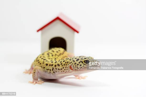 Lizard coming out the door of his house to become independent, to leave home