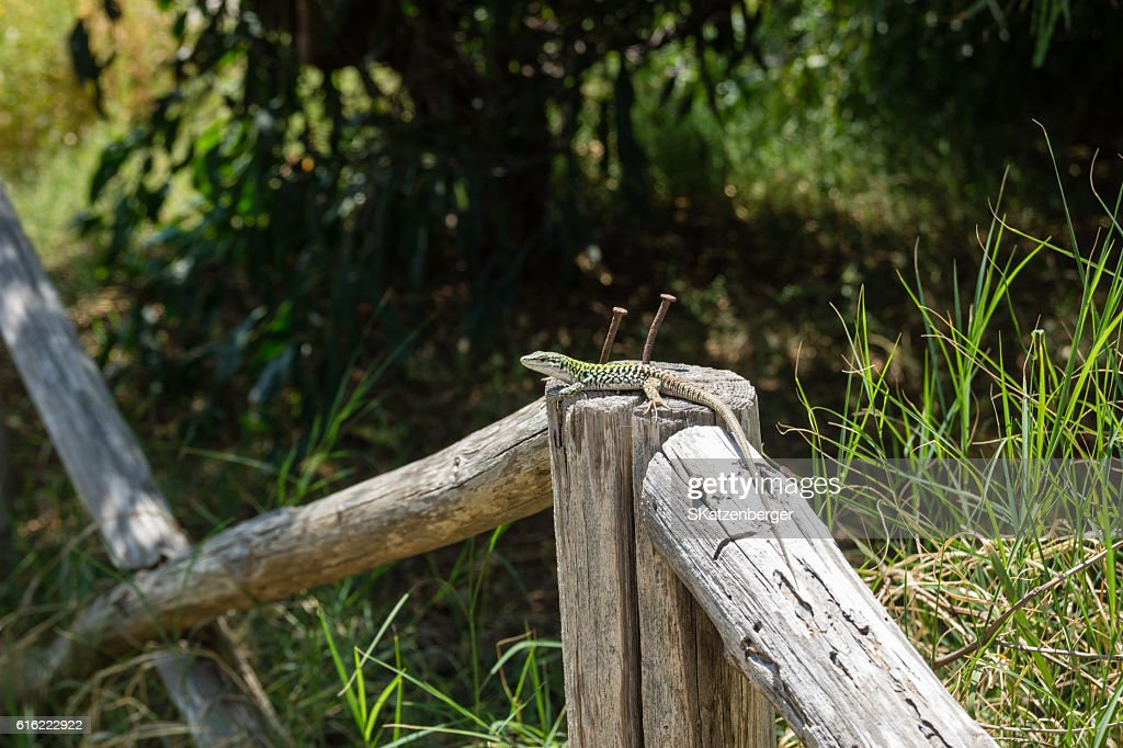 Lizard in the sun : Stock Photo
