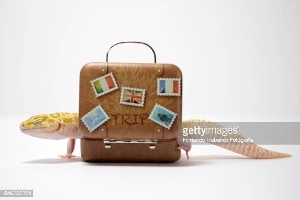 Lizard inside a suitcase