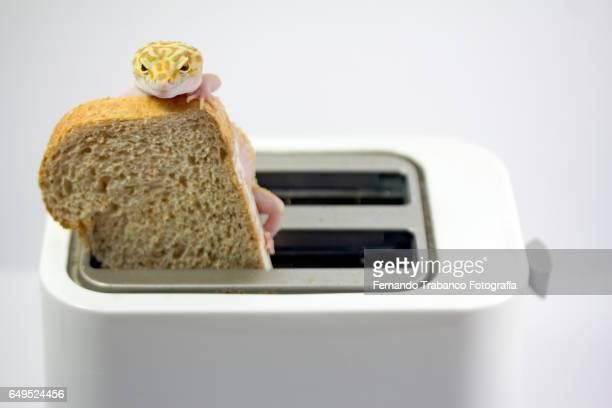Lizard on a slice of bread in the toaster