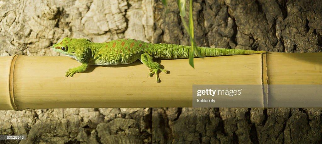Lizard on bamboo : Stockfoto