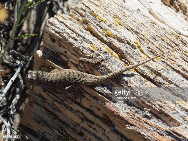 Lizard on Petrified Wood at Ah-Shi-Sle-Pah Wilderness Study Area, NM