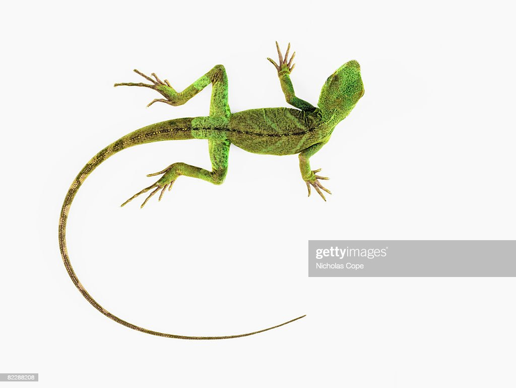 A lizard on pure white ground : Stock Photo