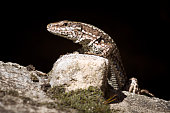 The curious lizard is hiding and standing on rock on black background.