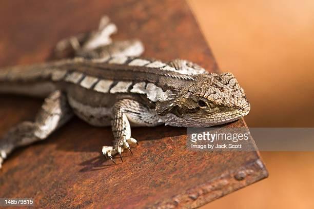 Lizard on tracker plow