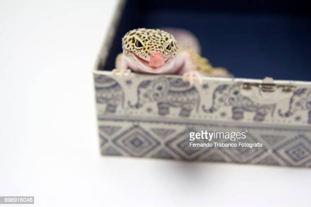 Lizard peeks head and tongue out inside a box