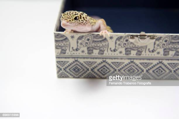 Lizard peeks head inside a box