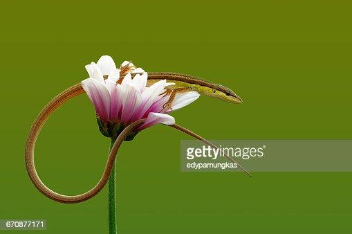 Lizard sitting on a flower, Jombang, East Java, Indonesia