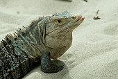 Lizard standing on sand, close-up