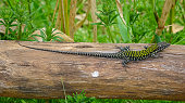 Lizard sunbathes on a wooden fence