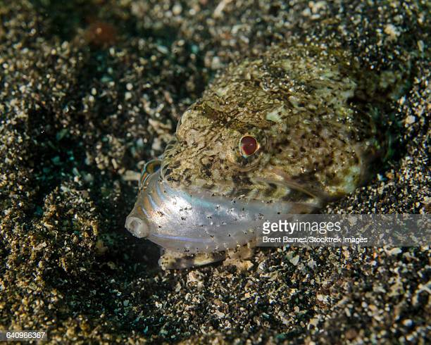 Lizardfish feeding on a fish in Lembeh Strait, Indonesia.