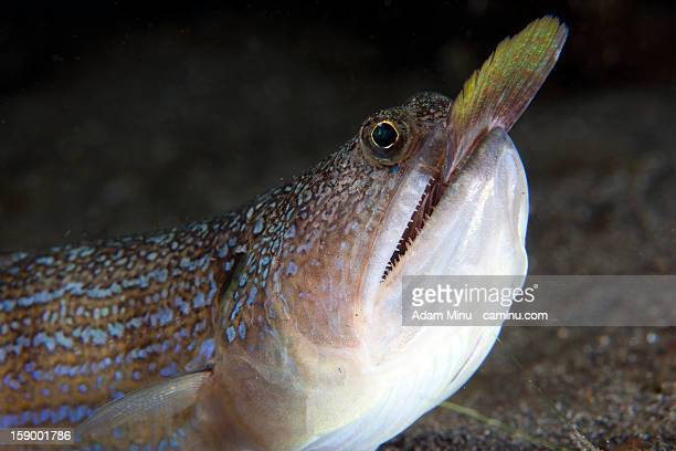 Lizardfish hunting