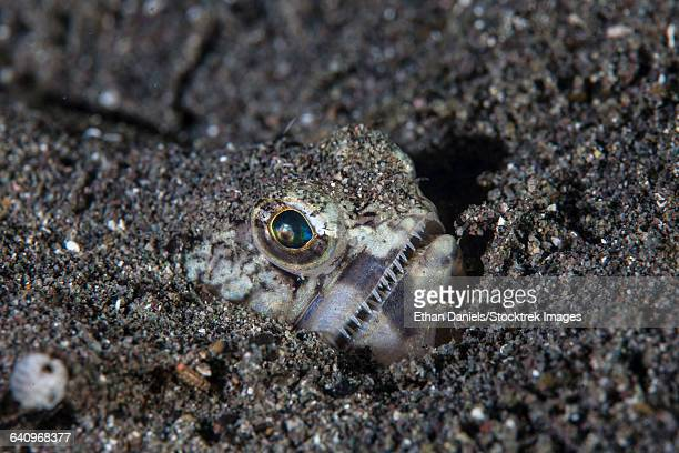 A lizardfish lays in sand in Komodo National Park, Indonesia.