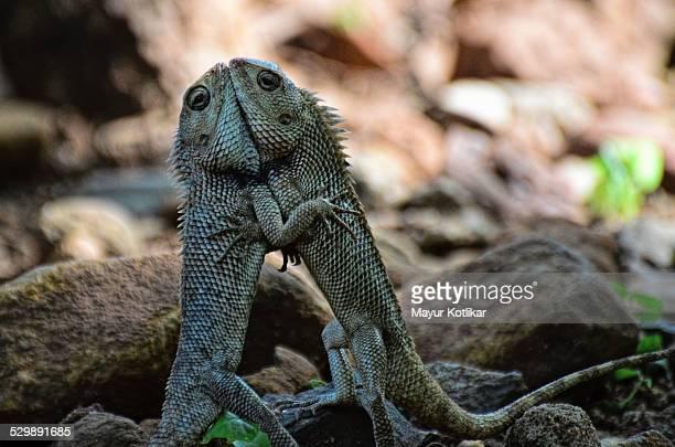 Lizards in territorial fight