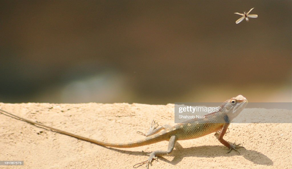 Lizards : Stock Photo