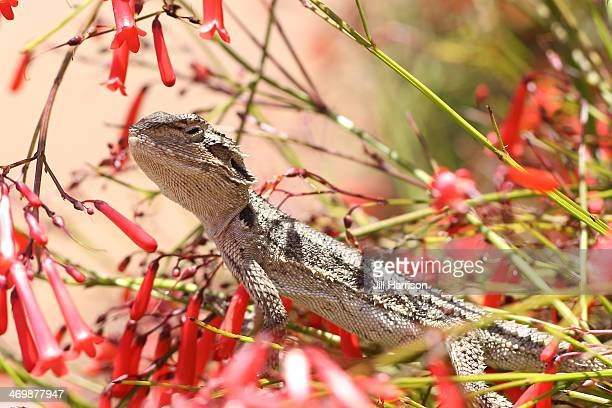 Lizard-Western-Bearded-Dragon