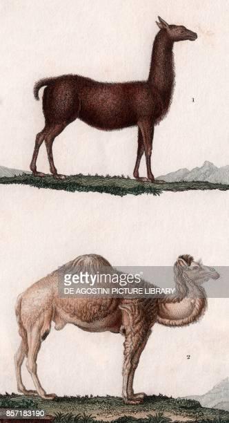 1 Llama 2 Dromedary colour copper engraving retouched in watercolour 9x15 cm from Dizionario delle scienze naturali compilato da vari professori del...