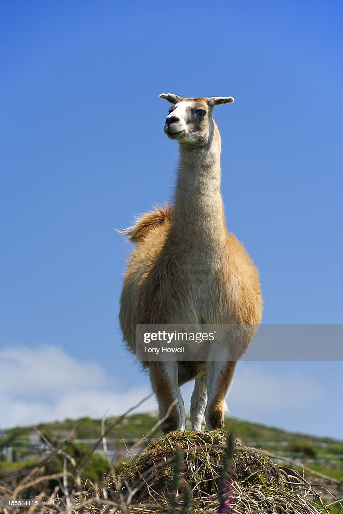 Llama against blue sky : Stock Photo