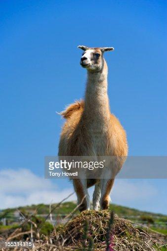 Llama against blue sky : Stock Photo