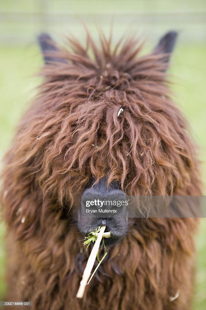 Llama chewing grass and hay, fur covering eyes, close-up