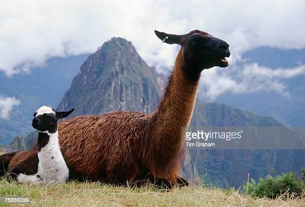 Llama dam her cria by Machu Picchu ruins of Inca citadel in Peru South America