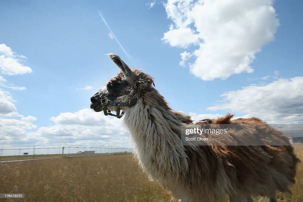 A llama grazes on a twoacre plot of land at O'Hare Airport on August 13 2013 in Chicago Illinois The llama is part of a herd of 25 goats sheep llamas...