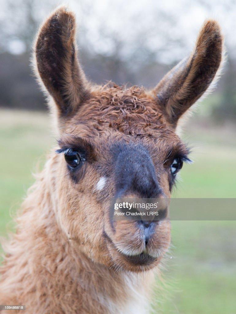 Llama in her winter coat : Stock Photo