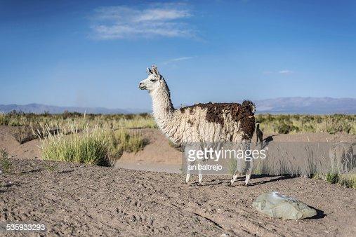 Llama in Salinas Grandes in Jujuy, Argentina. : Stock Photo
