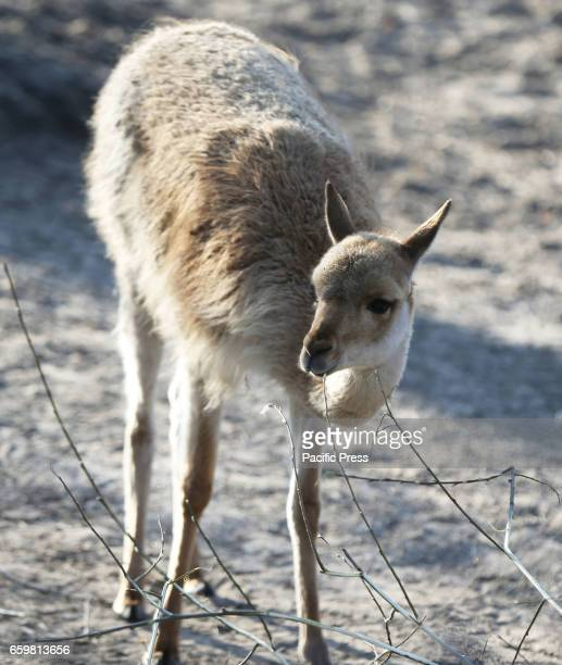 A llama is seen at the Warsaw Zoo