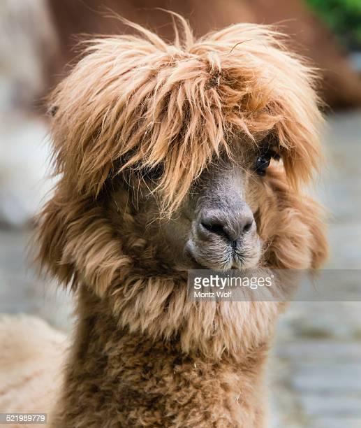 Llama -Lama glama-, animal portrait