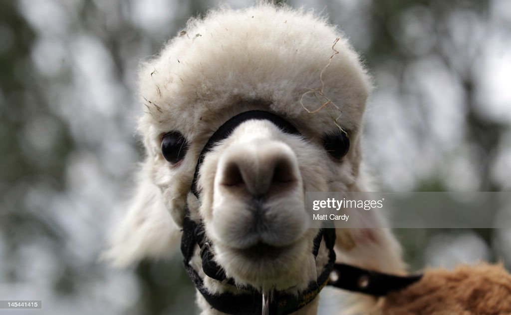A llama looks out of its pen at the Royal Bath And West Show on May 30 2012 in Shepton Mallet England The fourday show which opens today is one of...