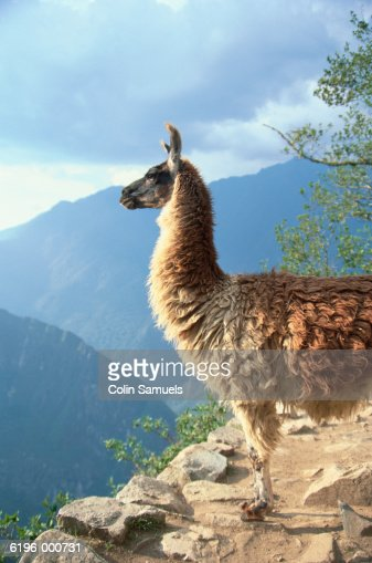 Llama on Mountain Ledge : Stock Photo