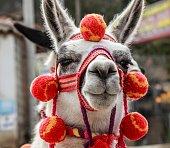 Typical llama Andes Peru