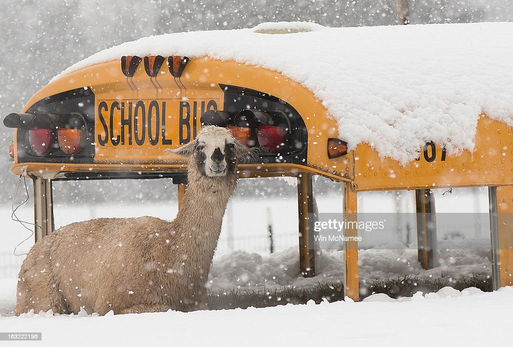 A llama seeks shelter next to an abandoned school bus at Cox Farms March 6 2013 in Centreville Virginia A winter storm hit the Washington DC area...