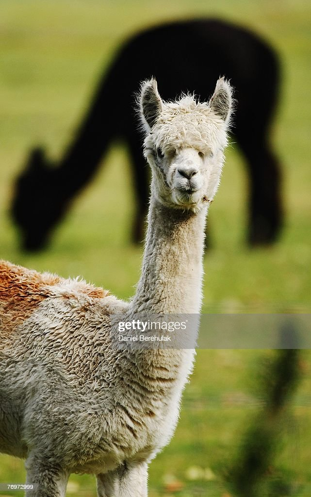 Llamas are pictured at the Baylham Rare Breeds Farm on September 24 2007 near Ipswich in Suffolk England Government vets are awaiting results to...